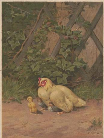 Print shows a hen with three chicks in a farmyard.