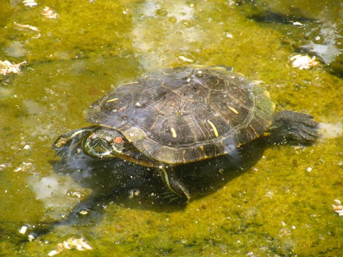 Defensive terrapin turtle. (Source: Wikipedia)