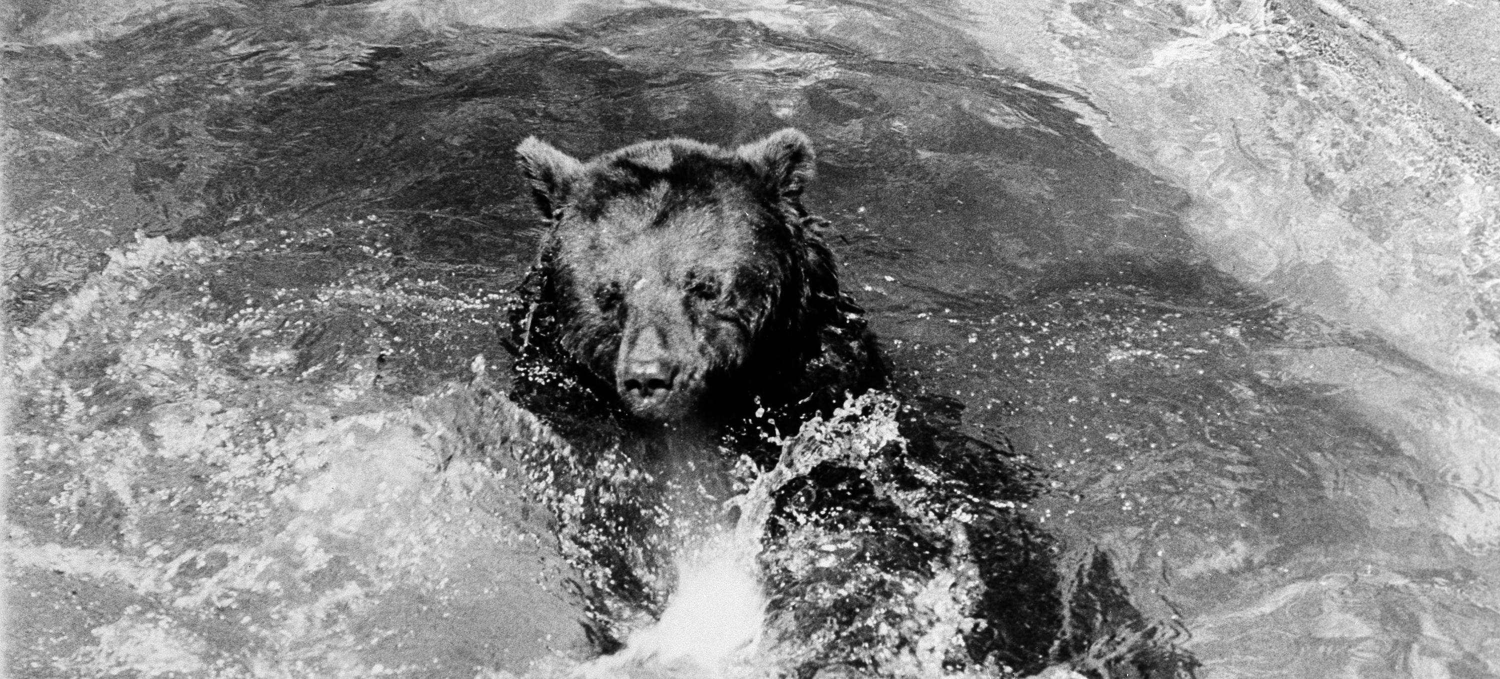 """The real life """"Smokey the Bear,"""" shown here frolicking in a pool at the National Zoo c.1950, was the embodiment of a fire safety public awareness campaign that started during World War II. (Photo credit: Francine Schroeder, Smithsonian Institution Archives. Used for educational purposes in accordance with the Smithsonian Archives terms of use.)"""