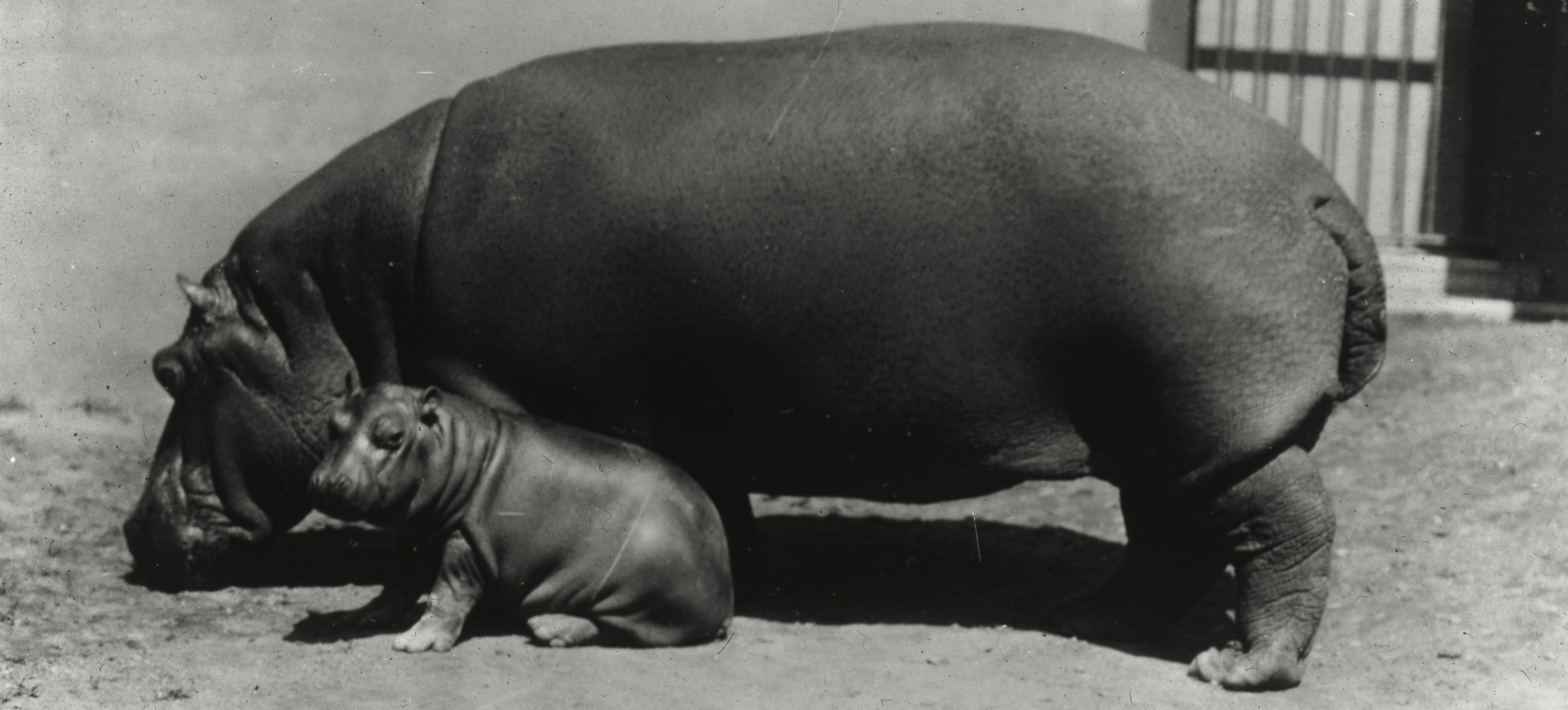A mother hippo with her calf