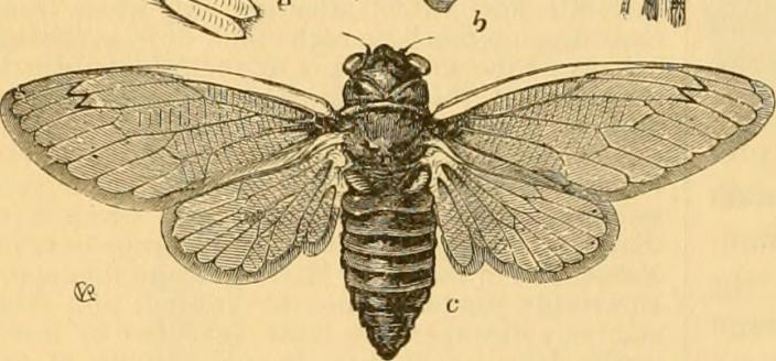 Periodical Cicada Illustration ca. 1880