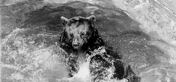 The original Smokey Bear frolicking in a pool at the National Zoological Park. (Photo credit: Francine Schroeder, used for educational purposes according to Smithsonian Archives terms of use.)